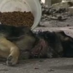 No Justice for Shepp, Cruelly Starved Dog! VIDEO