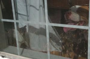 Pitbull Burglar