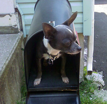chihuahua-in-mailbox