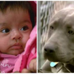 Baby Saved from Kidnap by Hero Pitbull!