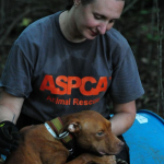 Dogfighting Raid, 367 Dogs Rescued (photos ASPCA)
