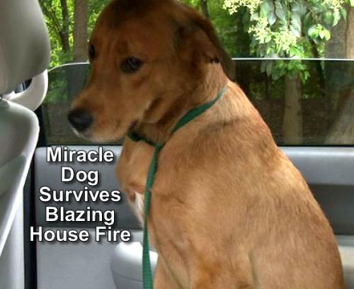 bear miracle dog