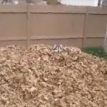 A Pile of Leaves and a Husky = Fun!  VIDEO