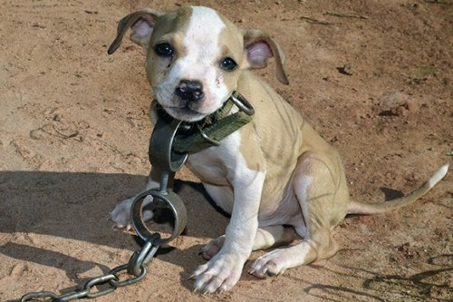 dogfighting pup